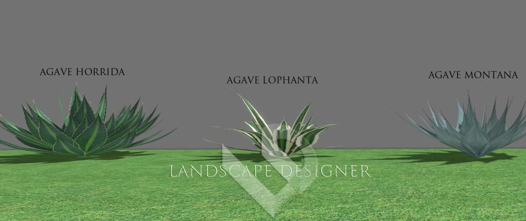 agave2