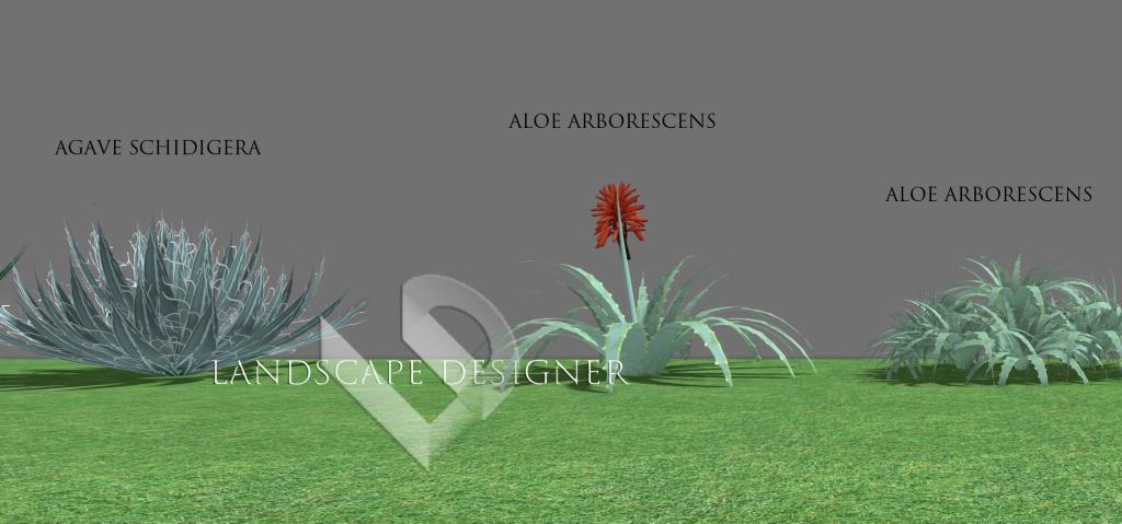 agave3