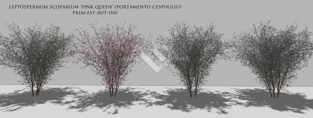 leptospermum2
